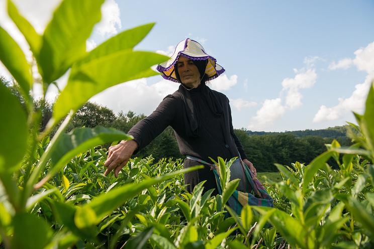 Сочи готов поить туристов местным чаем, Северный Кавказ — 20 видами травяных сборов  (ТАСС)